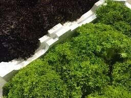 Салаты листовые, аромат. зелень из Испании. Прямые поставки.