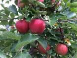 Яблоко - фото 1