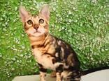 Бенгальские котята - фото 14